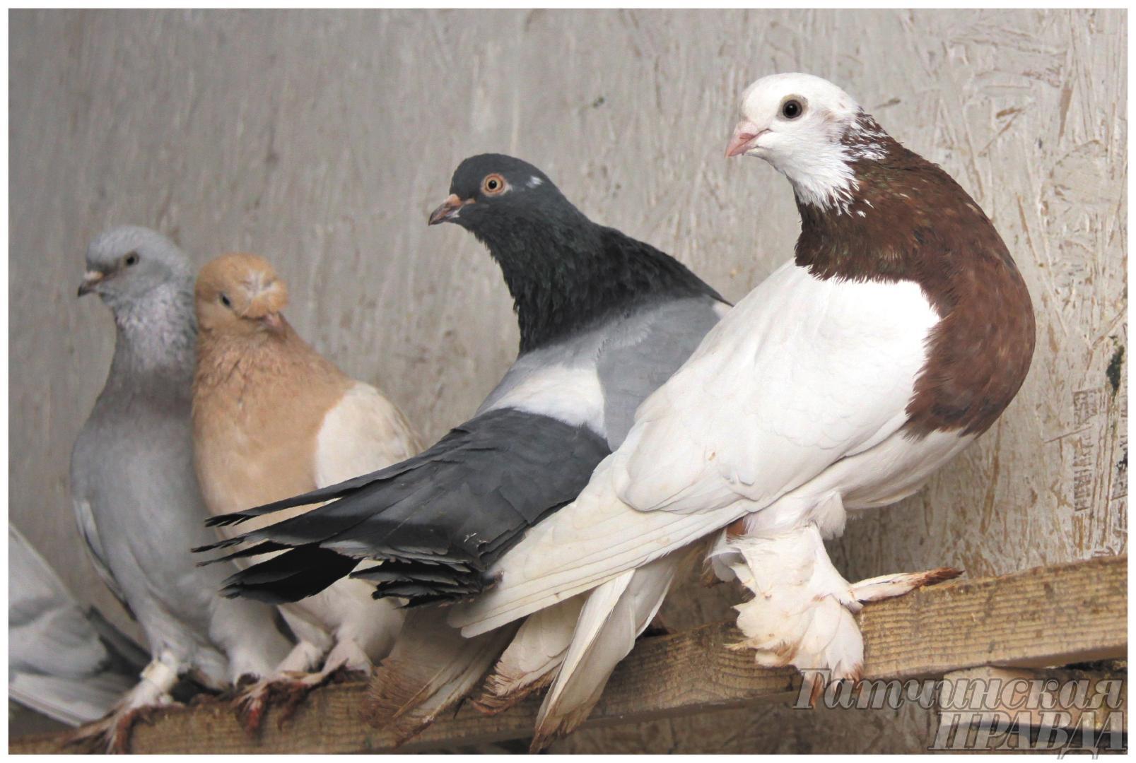 Голуби – это моя жизнь! История жизни голубевода